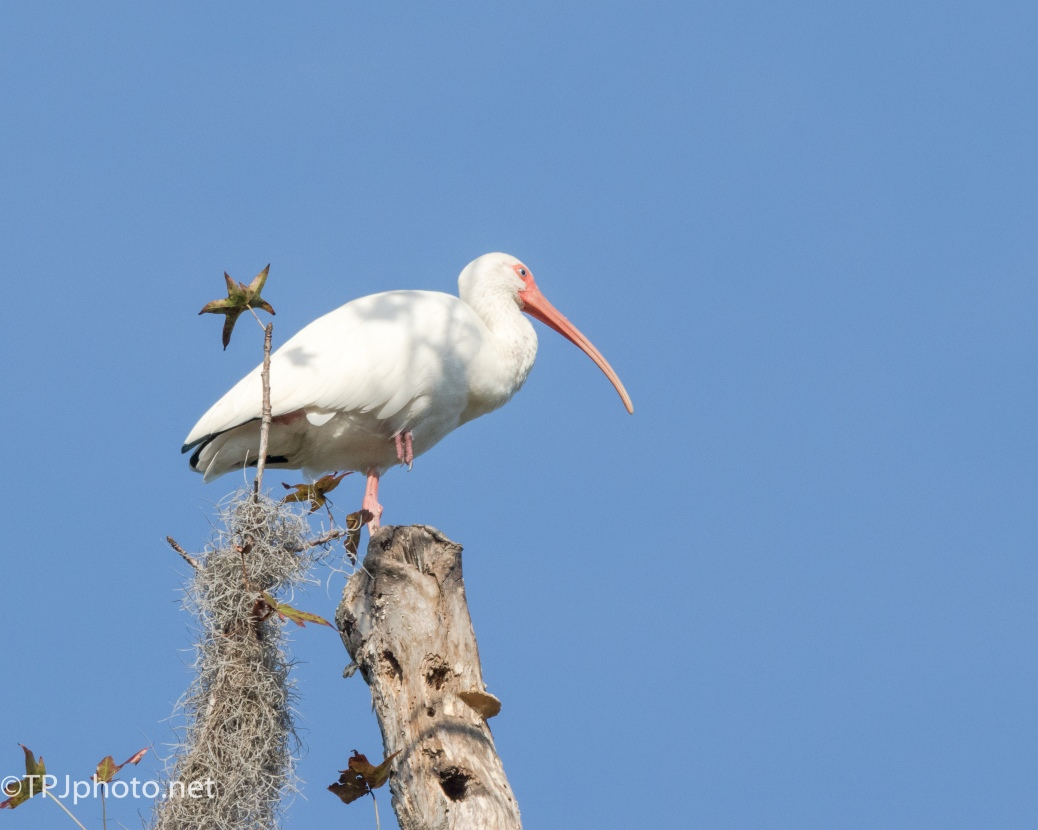 Perched White Ibis - Click To Enlarge