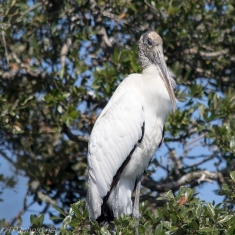 Wood Stork, Endangered Species - Click To Enlarge