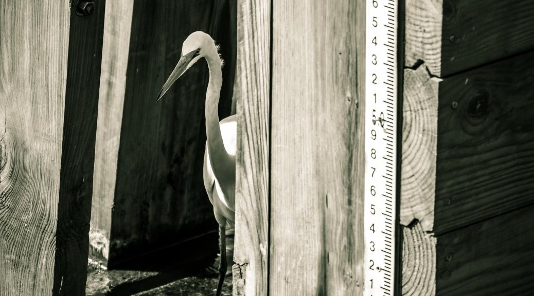 Hidden Egret - Click To Enlarge