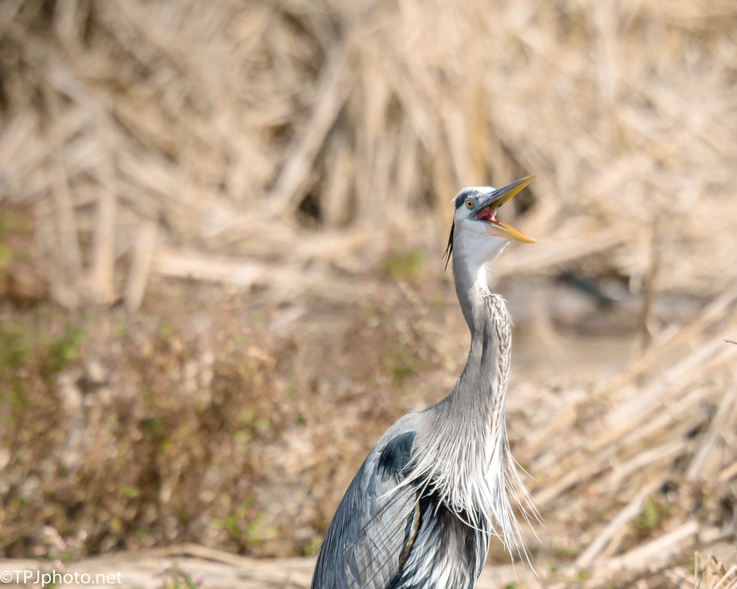 Foolish Great Blue Heron - Click To Enlarge
