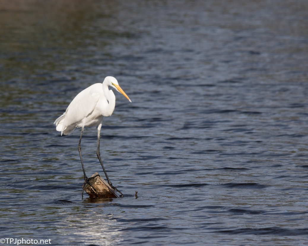 Great Egret Balancing Act - Click To Enlarge