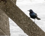 Grackle Under A Pier - Click To Enlarge