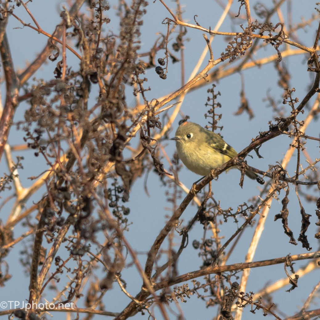 Ruby Crowned Kinglet - Click To Enlarge