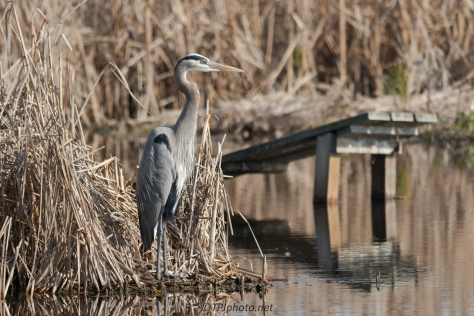 Regal Great Blue Heron - Click To Enlarge