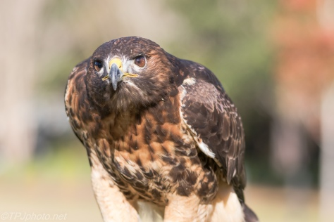 Red Tailed Hawk - Click To Enlarge