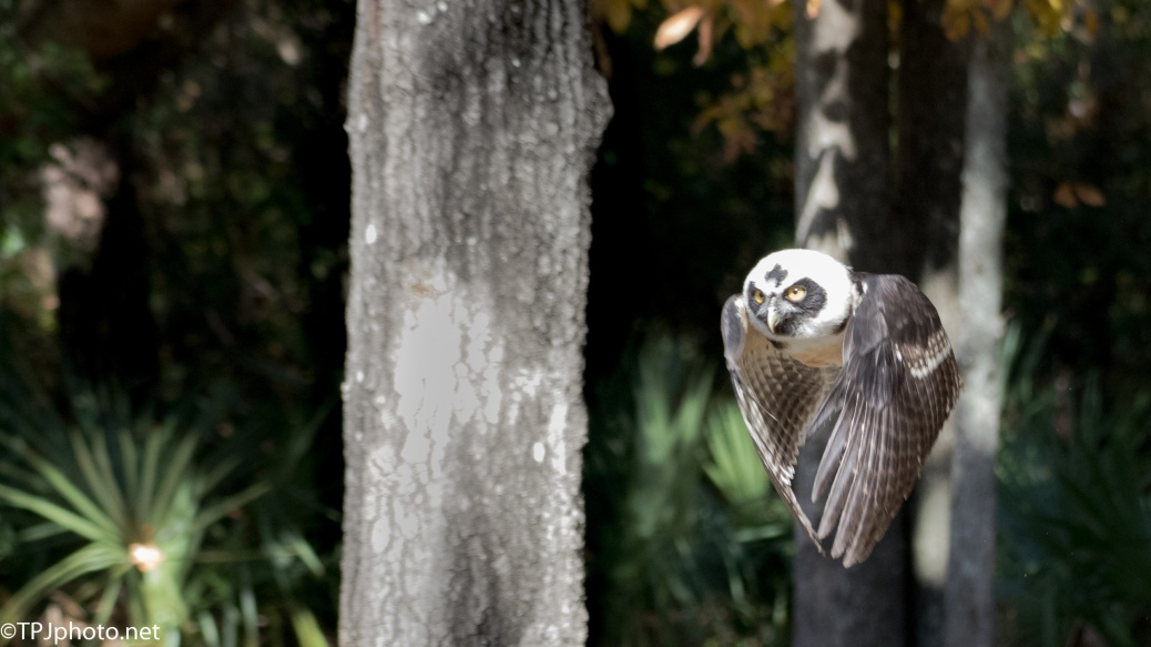 Juvenile Spectacled Owl - Click To Enlarge