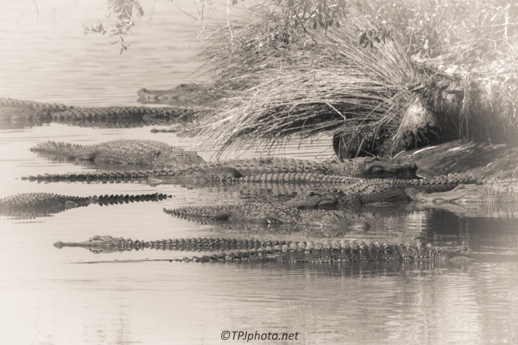 Many Alligators - Click To Enlarge
