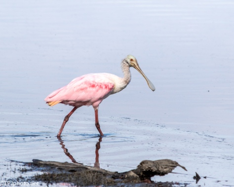 Wading Roseate Spoonbill - Click To Enlarge