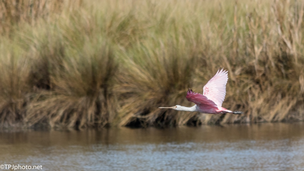 Roseate Spoonbill In Flight - Click To Enlarge