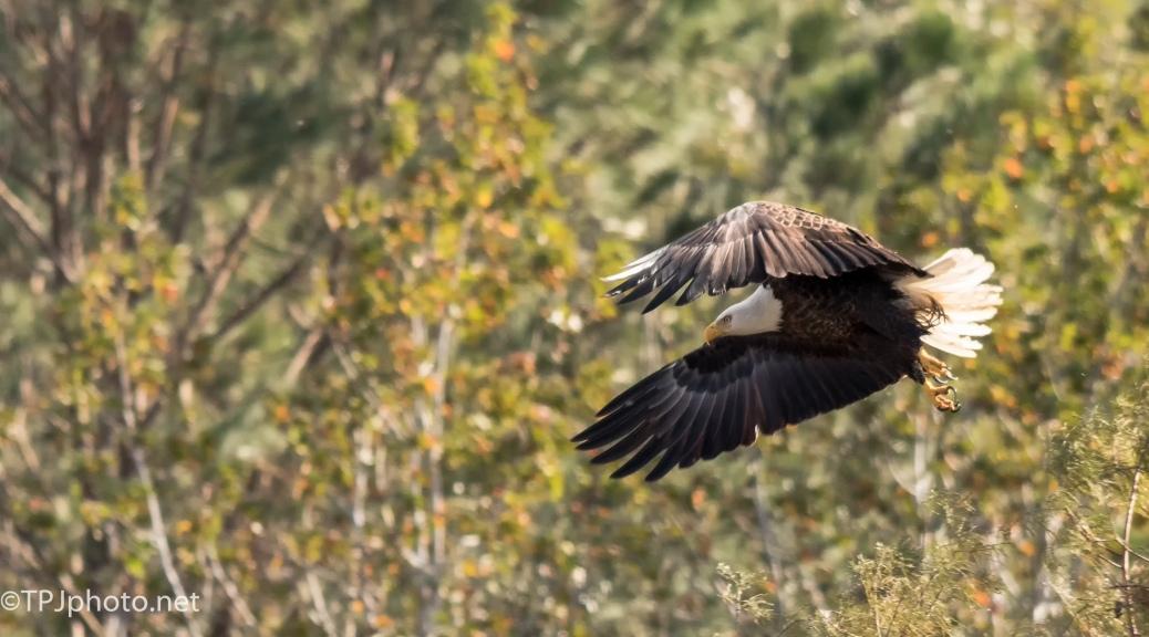 Bald Eagle - Click To Enlarge