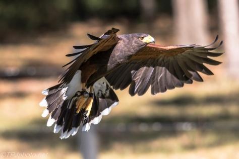 Harris Hawk - Click To Enlarge