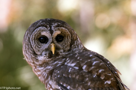 Barred Owl, Classic Pose - Click To Enlarge