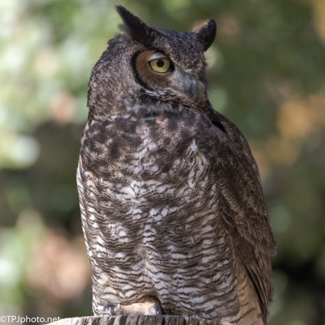 Great Horned Owl - Click To Enlarge