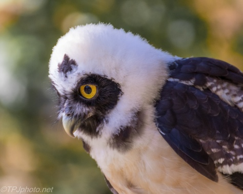 Spectacled Owl - Click To Enlarge
