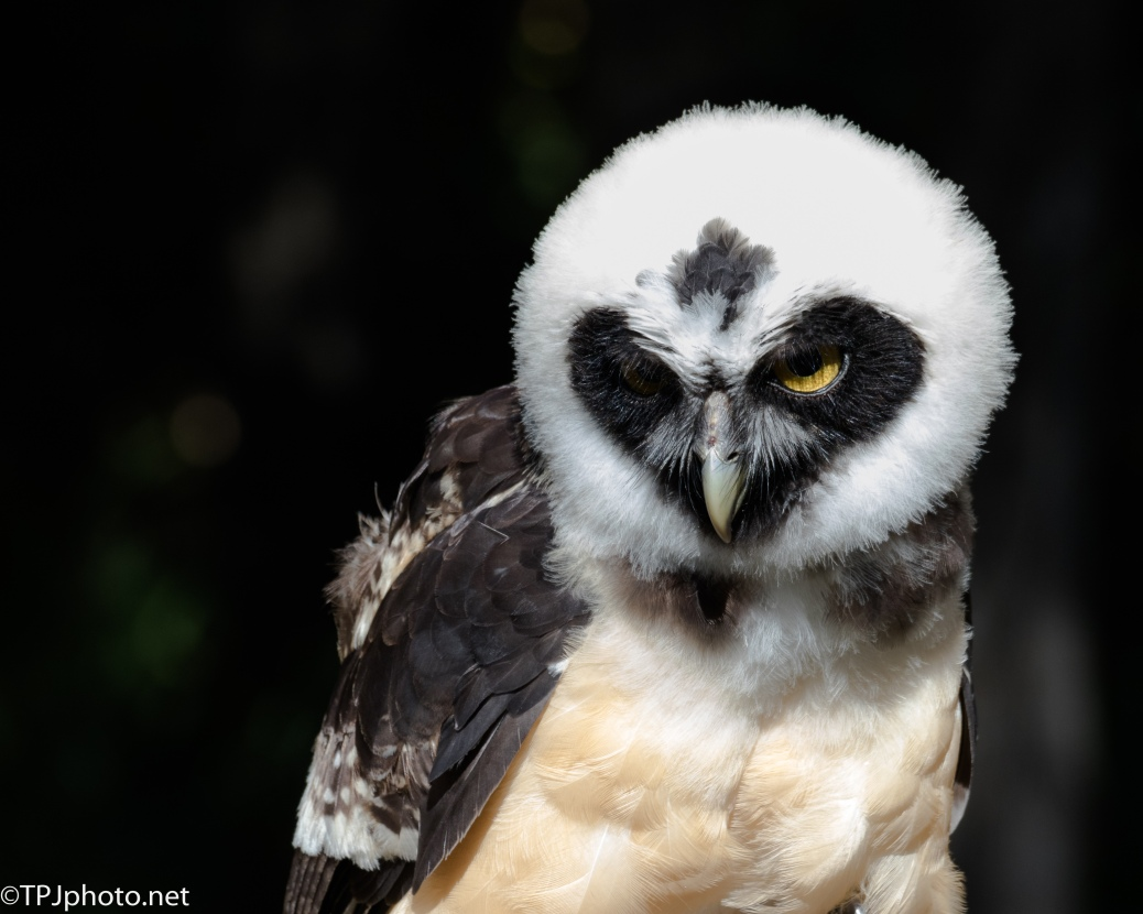 Young Spectacled Owl - Click To Enlarge