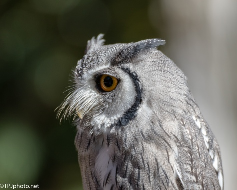 Portrait White-faced Scops Owl - Click To Enlarge