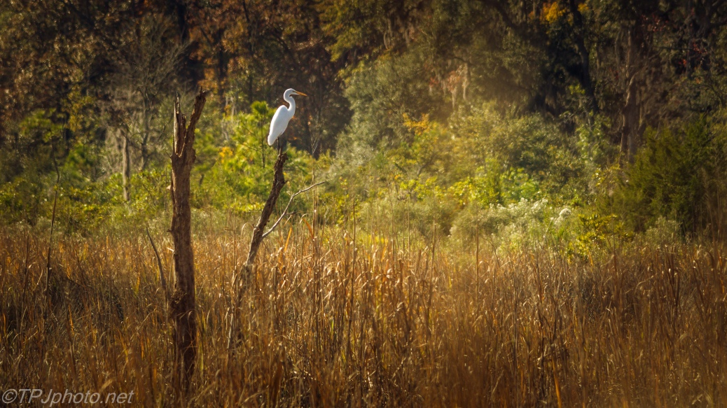 Great Egret In A Fall Marsh - Click To Enlarge