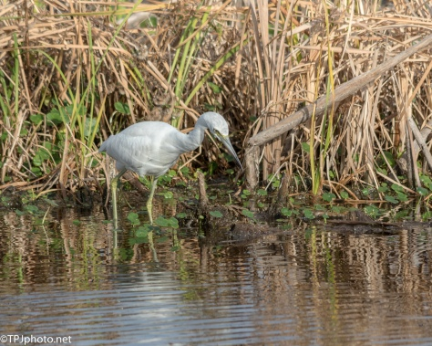 Juvenile Little Blue Still Dressed In White - Click To Enlarge
