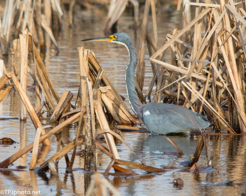 Little Tricolored Heron - Click To Enlarge