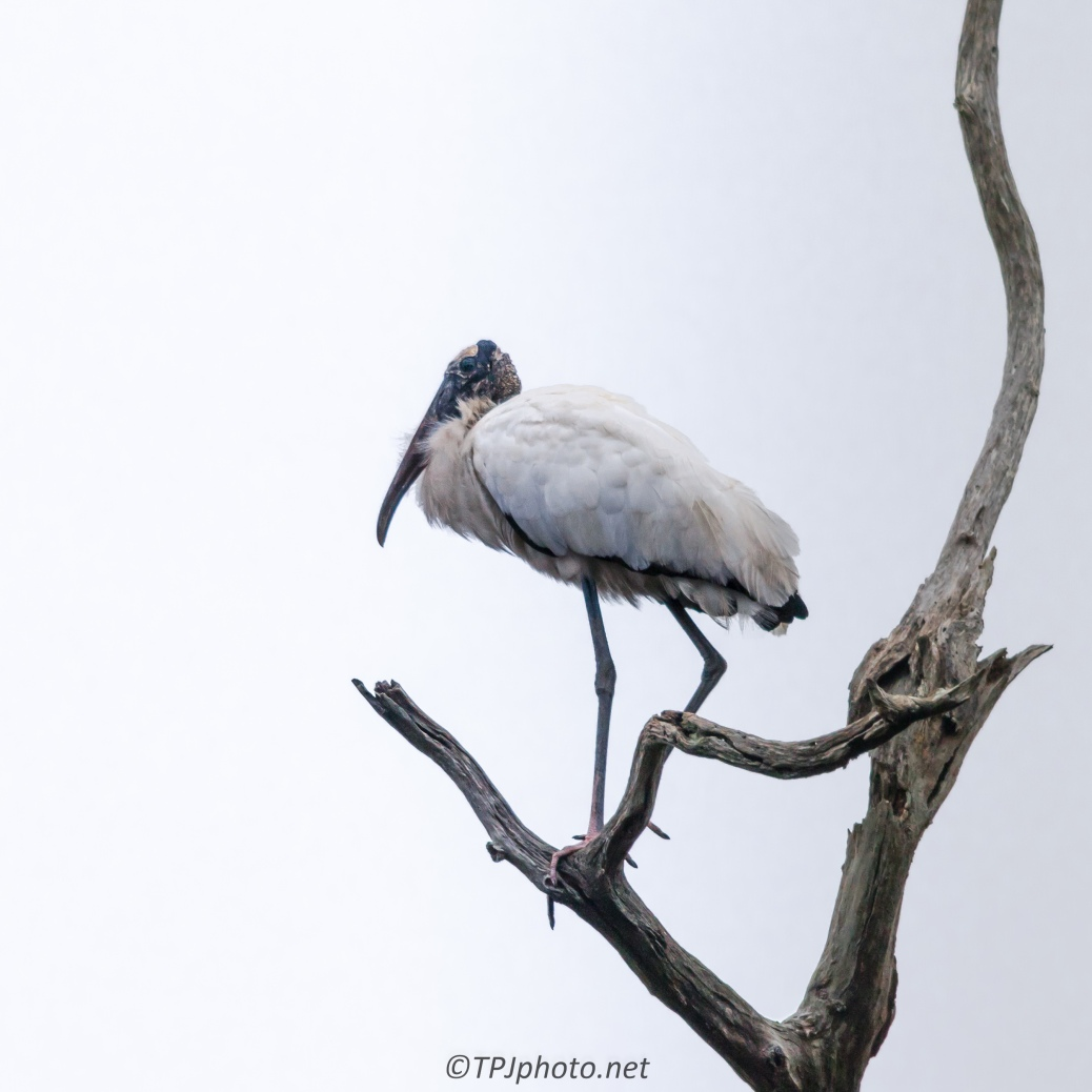 Perched Wood Stork - Click To Enlarge