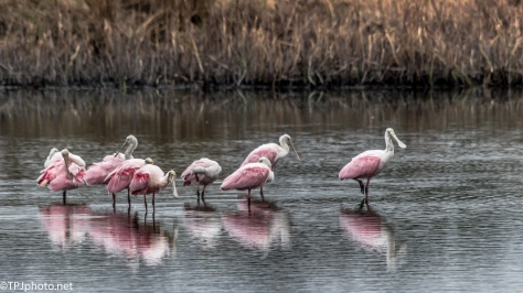Flock Of Spoonbills - Click To Enlarge