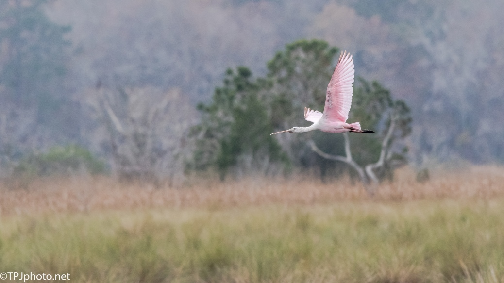 Roseate Spoonbills in Flight - Click To Enlarge