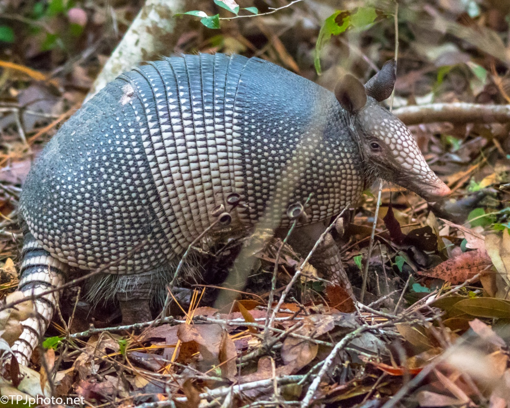 Nine-banded Armadillo - Click To Enlarge