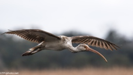 Juvenile Ibis Fly By - Click To Enlarge