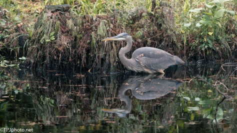 Great Blue Heron Reflection - Click To Enlarge