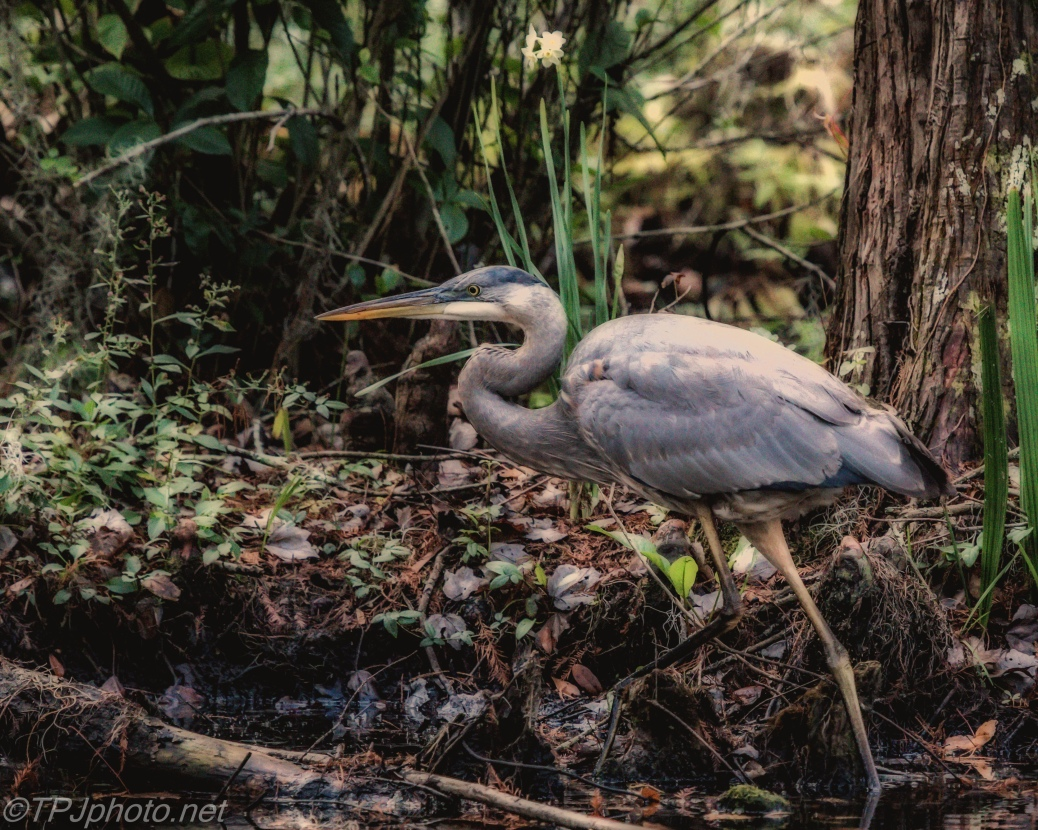 Great Blue Heron Hunting - Click To Enlarge