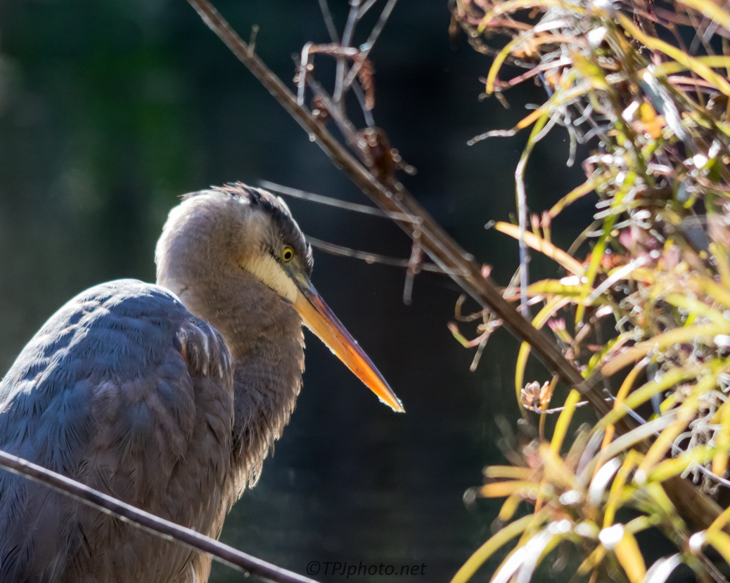 Great Blue Heron Through Reeds - Click To Enlarge