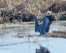Great Blue Heron Keeping His Feet Dry - Click To Enlarge
