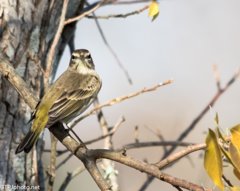 Palm Warbler - Click To Enlarge