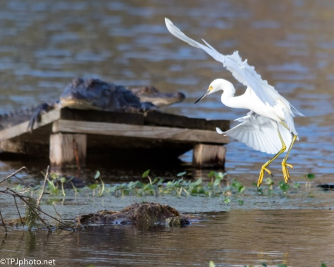 Snowy Egret Taking Chances - Click To Enlarge