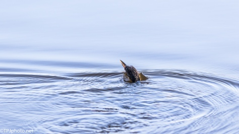 Cormorant Disappearing Act - Click To Enlarge