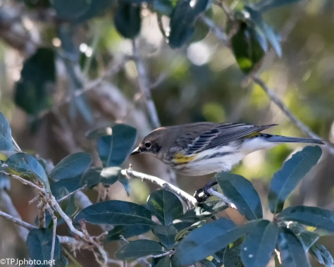 Yellow Rump Warbler - Click To Enlarge