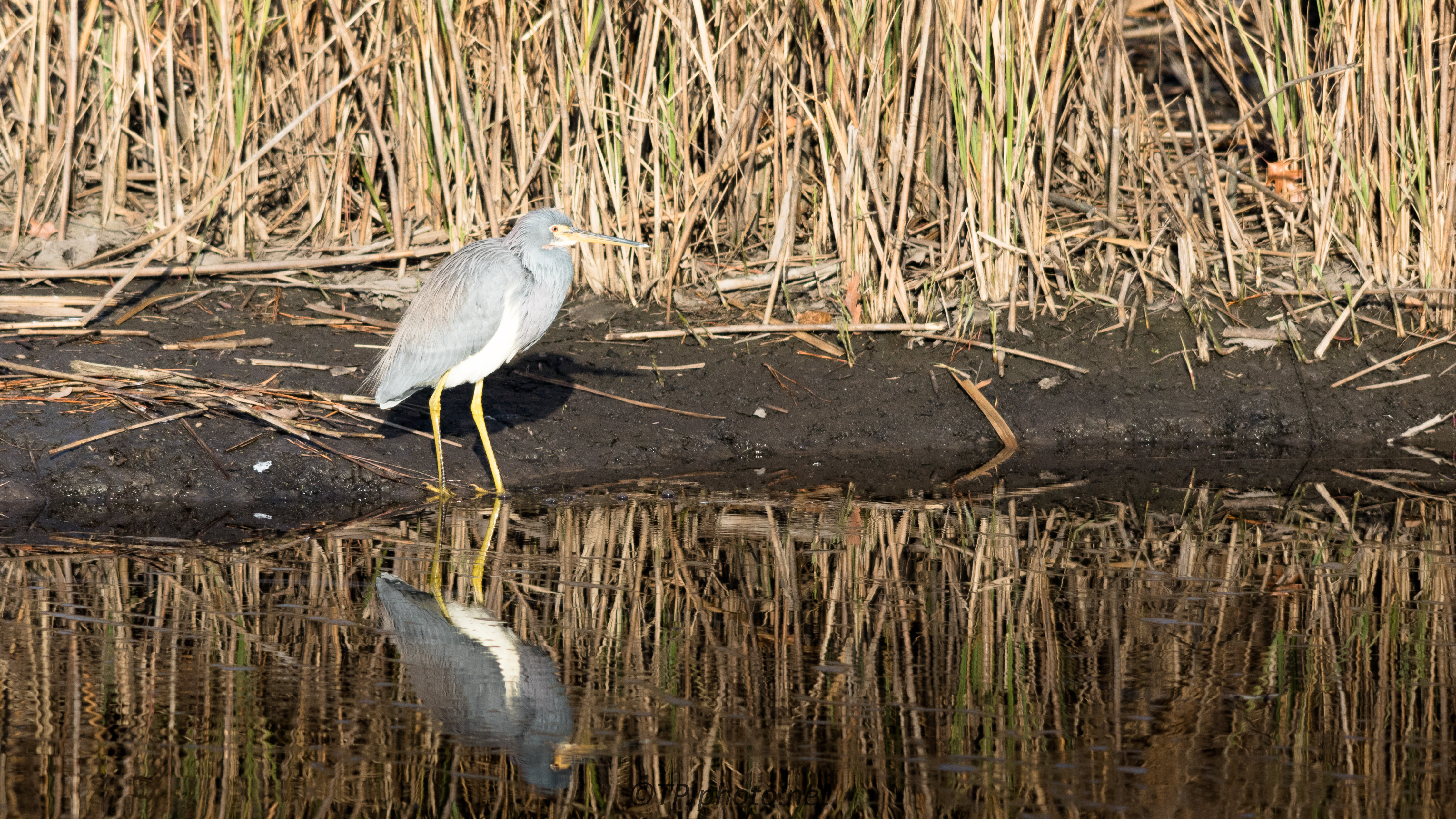 Tricolored Heron By The Reeds