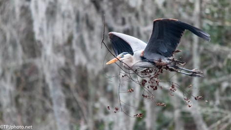 Great Blue Heron Taking No Chances - Click To Enlarge