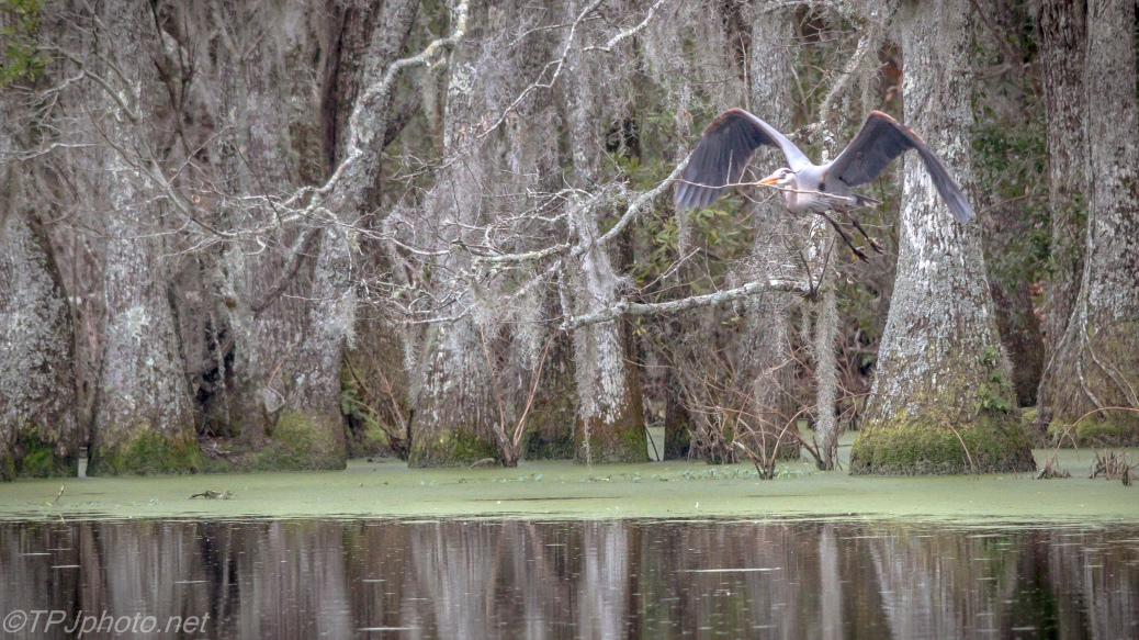 Heron Flying To Nest Over The Swamp - Click To Enlarge