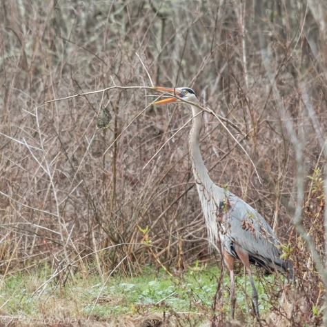 Heron, Poor Planning - Click To Enlarge