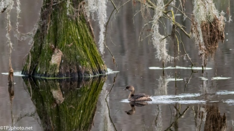Pied-billed Grebe - Click To Enlarge