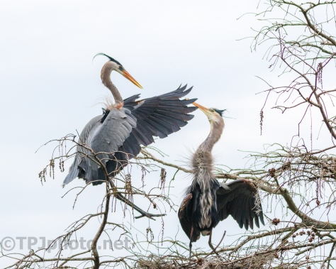 Pair Great Blue Herons - Click To Enlarge