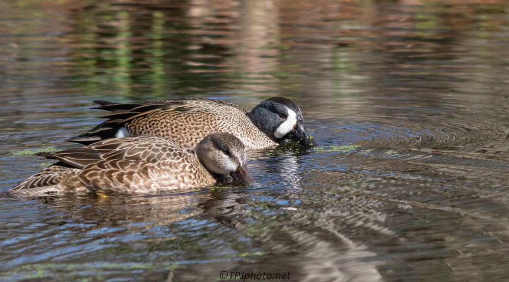 Blue-winged Teal Pair - Click To Enlarge