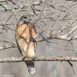 Red-shouldered Hawk - Click To Enlarge