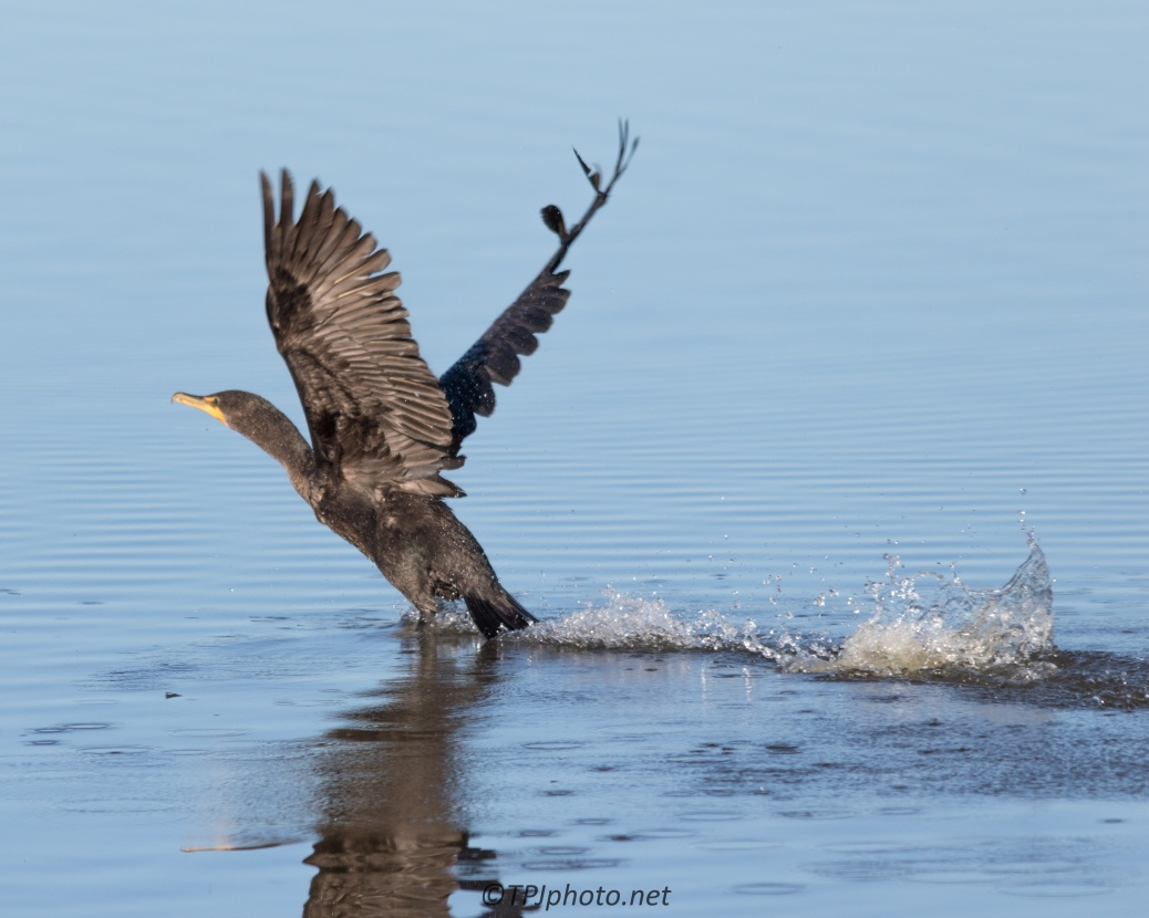 Cormorant Take Off - Click To Enlarge