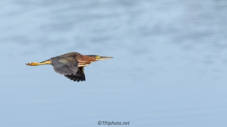 Speedy Green Heron - Click To Enlarge