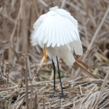 Great Egret Primping - Click To Enlarge