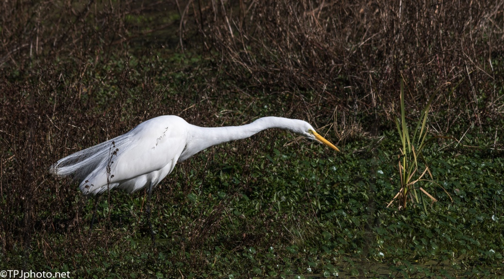 Concentration, Great Egret - Click To Enlarge