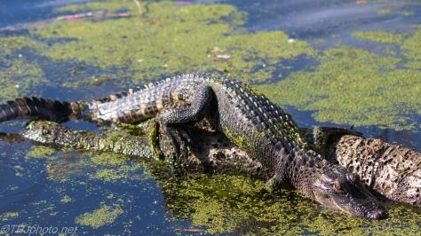 Alligator - Click To Enlarge