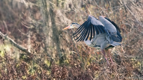 Pop Up Heron - Click To Enlarge